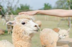 съемка альпаки головная стоковая фотография