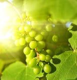 съемка близких виноградин зеленая вверх стоковые изображения rf