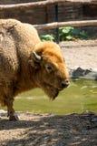 Съемка буйвола головная Стоковое фото RF