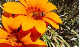съемка близкого цветка пчелы померанцовая вверх стоковые изображения rf