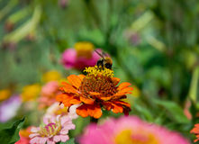 съемка близкого цветка пчелы померанцовая вверх Стоковые Фотографии RF