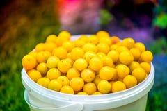 Съемка ведра свеже выбранных зрелых желтых, малых слив Стоковое Фото