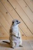 Съемка внушительного meerkat крытая Стоковые Фотографии RF
