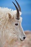 Съемка головки козочки горы Стоковые Фотографии RF