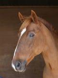 Съемка головки лошади каштана Стоковые Изображения