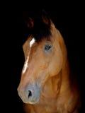 Съемка головки лошади каштана Стоковые Изображения RF