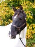 Съемка головки лошади Стоковая Фотография RF