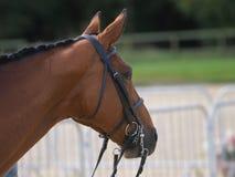 Съемка головки лошади Стоковые Фото