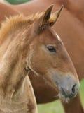 Съемка головки осленка лошади суффолька Стоковое фото RF