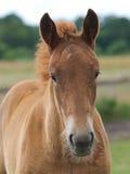 Съемка головки осленка лошади суффолька Стоковое Изображение RF