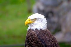 Съемка головы белоголового орлана Стоковое фото RF