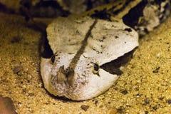 Съемка головы змеенжша Gaboon Стоковая Фотография