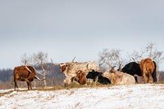 Съемка группы кормил лонгхорна на снеге покрыла поле Стоковое фото RF
