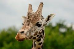 Съемка жирафа головная Стоковое Фото