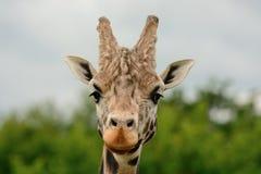 Съемка жирафа головная Стоковая Фотография