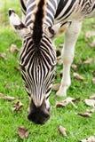 Съемка зебры головная Стоковое Изображение RF