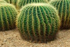 съемка кактусов близкая вверх Стоковые Фотографии RF