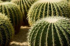 съемка кактусов близкая вверх Стоковое фото RF