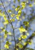 Съемка конца-вверх ветви с молодыми листьями стоковые фото