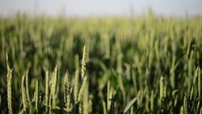 Съемка конца-вверх пшеничного поля сток-видео