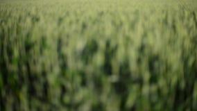 Съемка конца-вверх фермы пшеницы видеоматериал