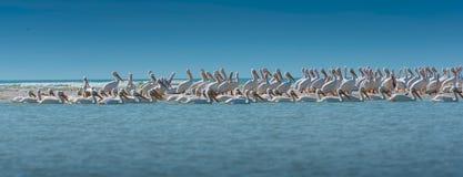 Съемка колонии белого пеликана панорамная Стоковые Фотографии RF