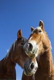 Съемка кружки лошади Стоковые Изображения