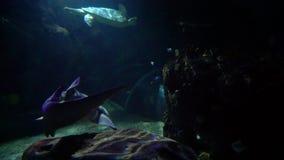 Съемка лотка карданного подвеса небольшого плавания акулы в аквариуме с черепахой и рыбами сток-видео