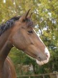 съемка лошади головки залива Стоковые Фотографии RF
