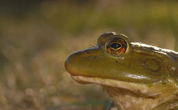 съемка лягушки Стоковая Фотография RF