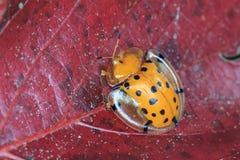 Съемка макроса запятнанного жука черепахи Стоковая Фотография RF