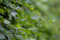 Съемка макроса изгороди бука Стоковое Изображение