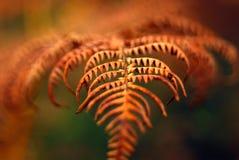 Съемка макроса коричневого цвета падения осени frond лист папоротника Стоковое Изображение