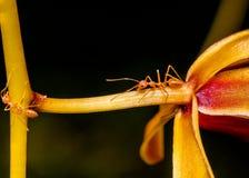 Съемка макроса муравья идя на покрашенный цветок орхидеи Стоковые Фото