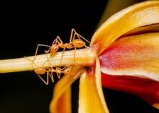 Съемка макроса муравья идя на покрашенный цветок орхидеи Стоковые Фотографии RF