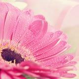 Съемка макроса падения воды красивые красочные цветки маргаритки Gerbera Предпосылка весны - сад Стоковые Изображения RF