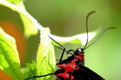 Съемка макроса, пирамиды из камней birdwing бабочка Стоковые Изображения
