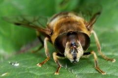 Съемка макроса пчелы меда Стоковые Фотографии RF