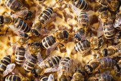съемка макроса пчел стоковое изображение