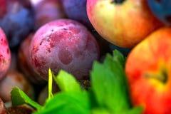 Съемка макроса сбора осени свеже выбранного красного зрелого яблока рядом с яркими ыми-зелен листьями пипермента и темными розовы Стоковая Фотография RF