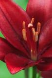 Съемка макроса цветка красной лилии яркая Стоковое Изображение