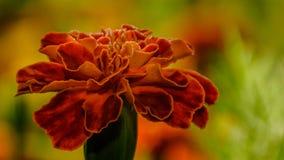 Съемка макроса цветка ноготк Стоковые Фотографии RF