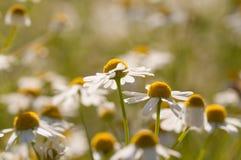 съемка макроса цветка dof крупного плана стоцвета отмелая Стоковые Фото
