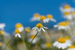 съемка макроса цветка dof крупного плана стоцвета отмелая Стоковое Фото
