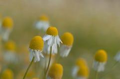 съемка макроса цветка dof крупного плана стоцвета отмелая Стоковые Изображения RF