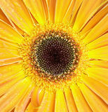 Съемка макроса цветка Gerber Стоковые Изображения