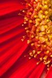 съемка макроса gerbera маргаритки Стоковые Изображения RF