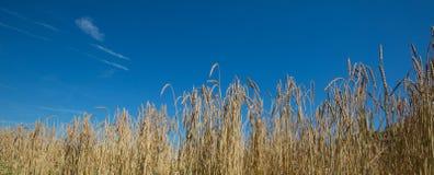 Съемка панорамы пшеницы Стоковая Фотография RF