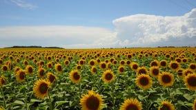 Съемка поля солнцецвета низкая воздушная сток-видео