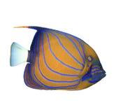 съемка предпосылки angelfish голубая bluering подводная стоковые изображения rf